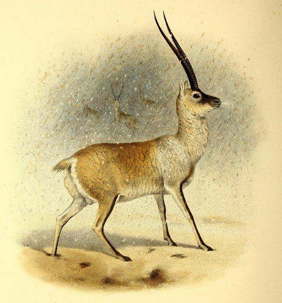 Origin of the Unicorn - The Tibetan Antelope Chiru