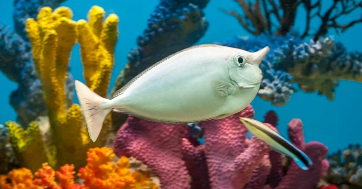 What Is a Unicorn Fish - A White Unicorn Fish and Corals